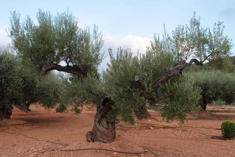 Olivos milenarios